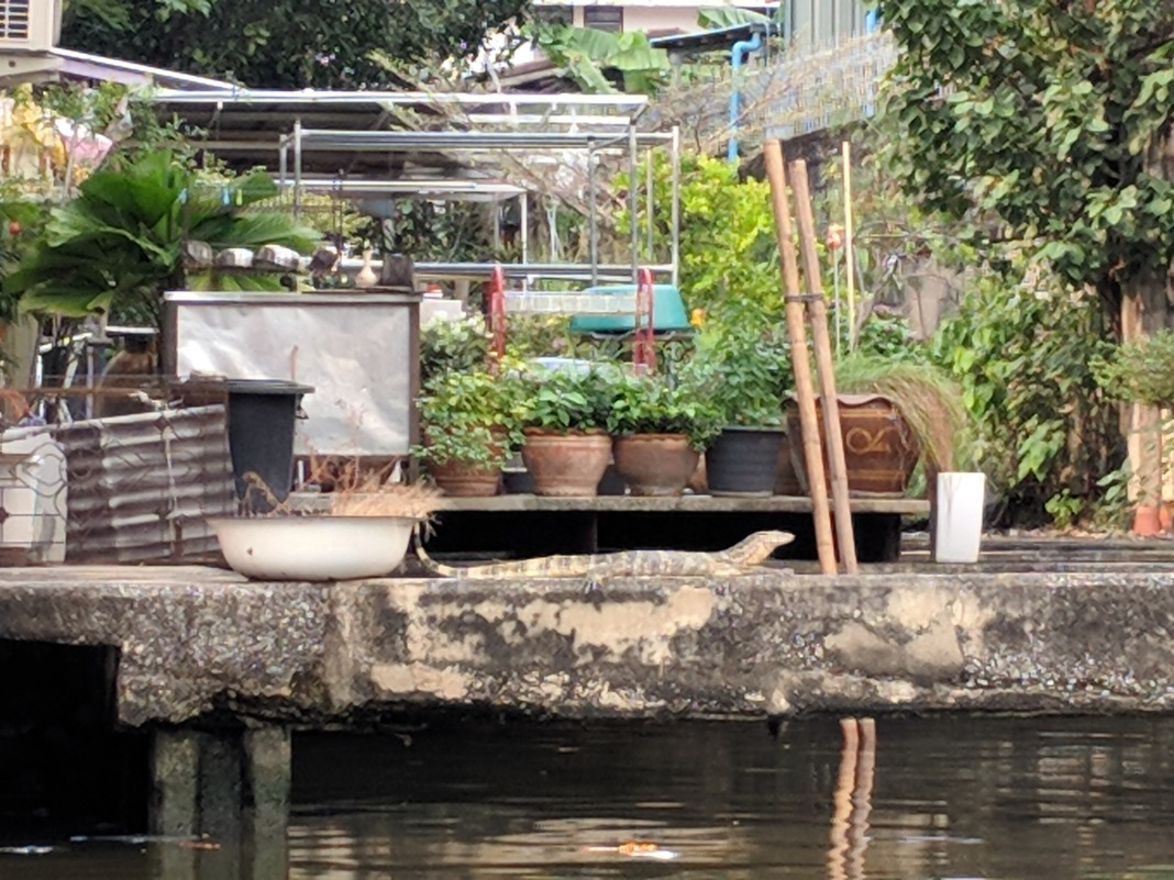 Klong Boat Ride Scam Monitor Lizard