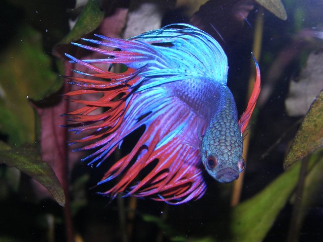 betta splendens fighting fish vietnam