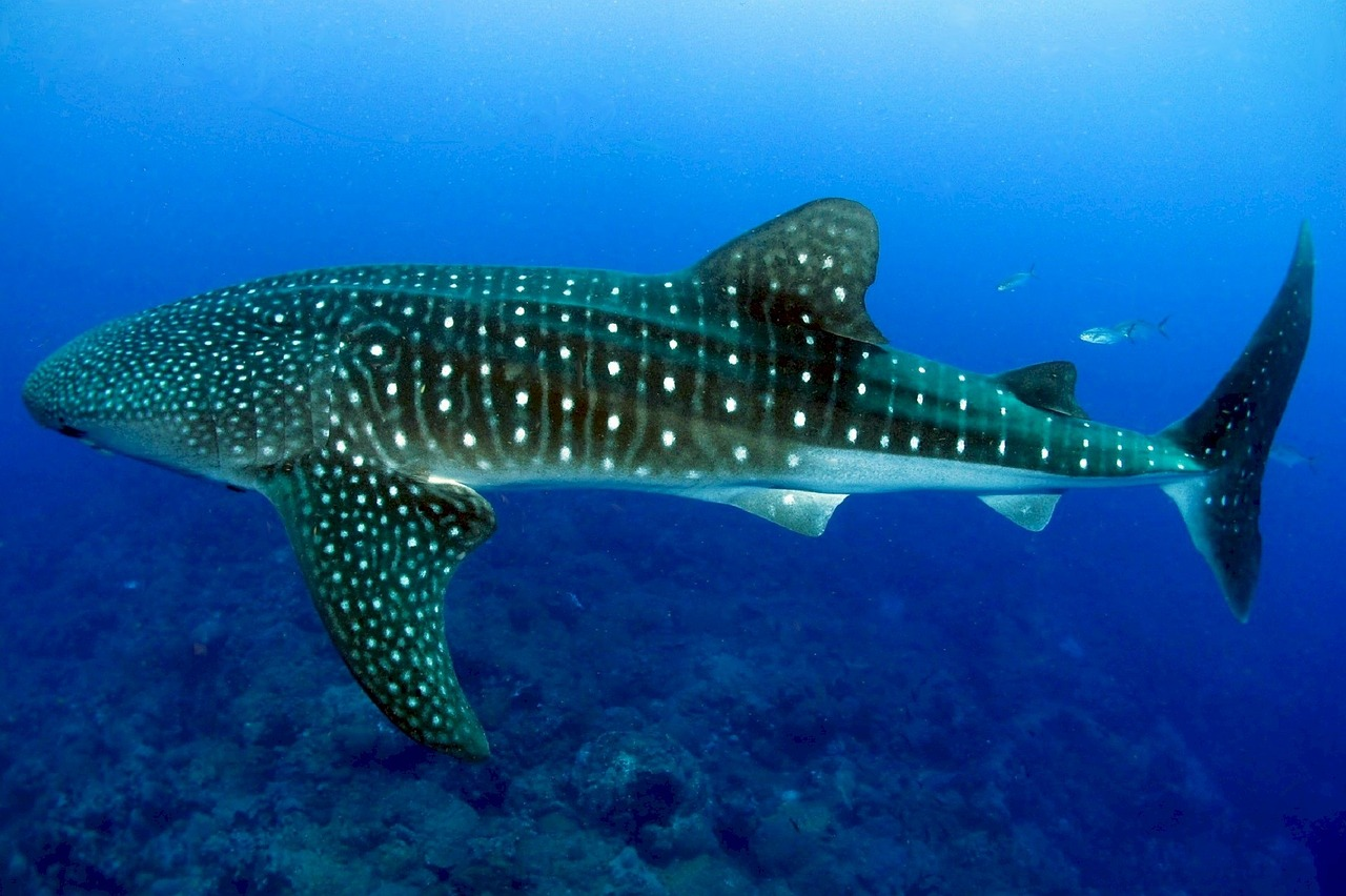 whale sharks in cancun