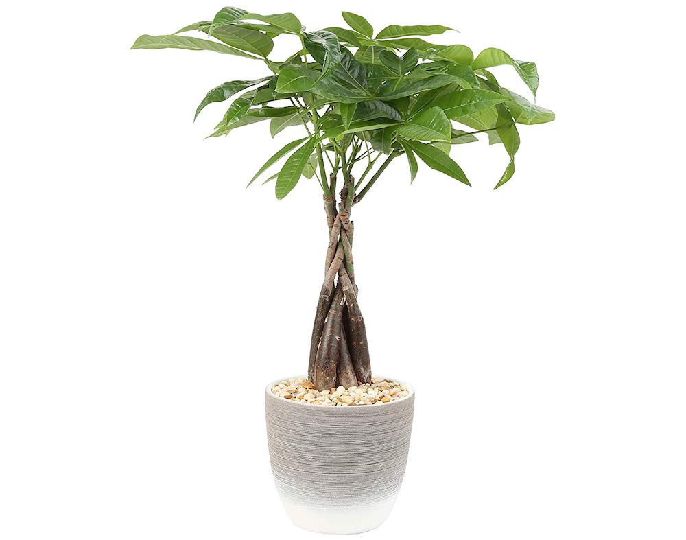Money Tree Pachira Aquatica pet safe plant for home office
