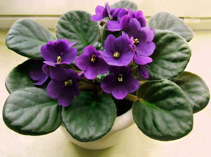 african-violet-houseplant saintpaulia spp pet safe old farmers almanac