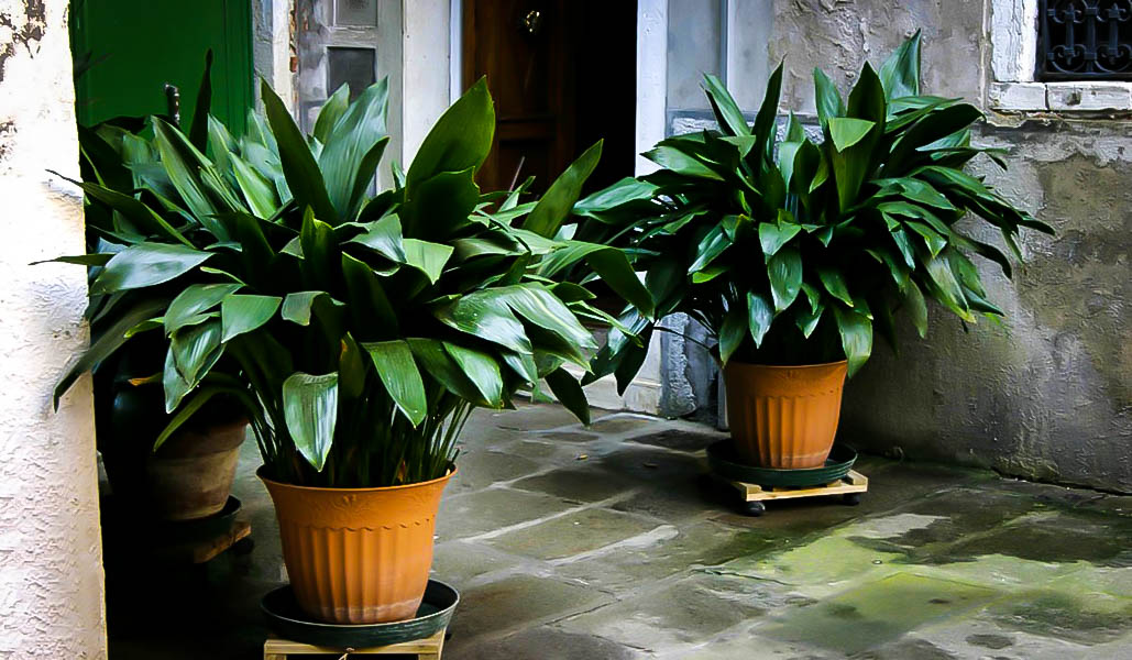 cast iron plant from the tree center Aspidistra elatior