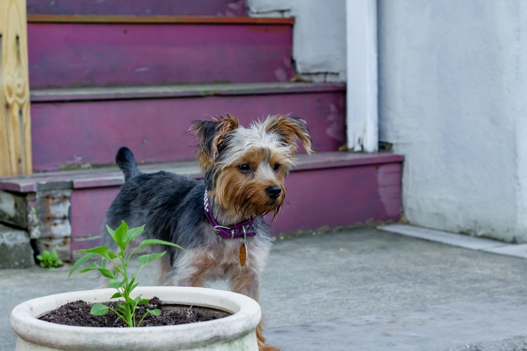 yorkshire terrier dog and house plant