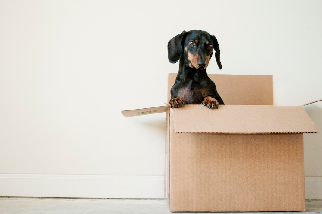 dachshund in a moving box